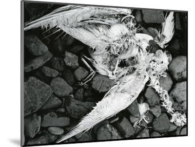 Dead Bird, Bone, Rock, c. 1970-Brett Weston-Mounted Photographic Print