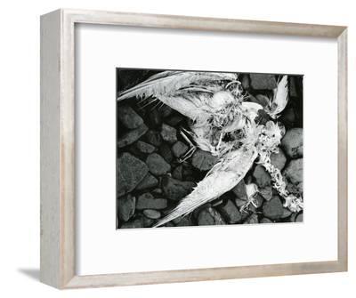 Dead Bird, Bone, Rock, c. 1970-Brett Weston-Framed Photographic Print