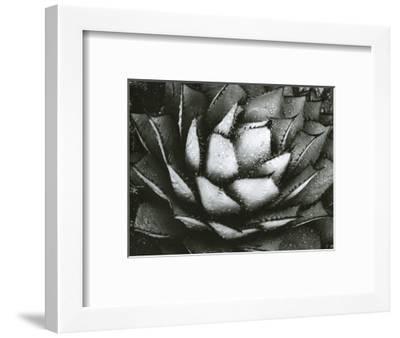 Century Plant, c. 1975-Brett Weston-Framed Photographic Print