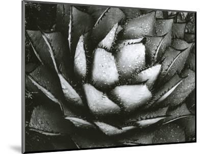 Century Plant, c. 1975-Brett Weston-Mounted Photographic Print