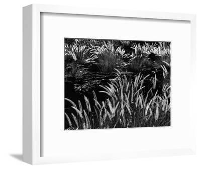Plants and Lava, Hawaii, 1980-Brett Weston-Framed Photographic Print