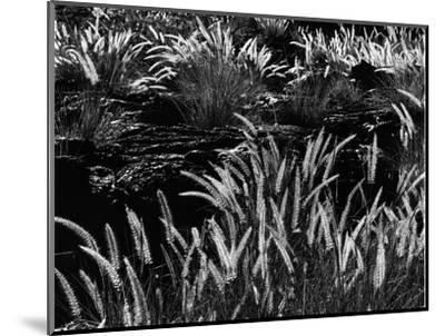 Plants and Lava, Hawaii, 1980-Brett Weston-Mounted Photographic Print