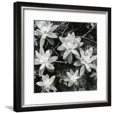 Succulents, Point Lobos, 1951-Brett Weston-Framed Photographic Print