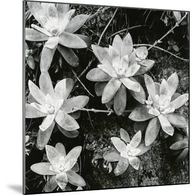 Succulents, Point Lobos, 1951-Brett Weston-Mounted Photographic Print