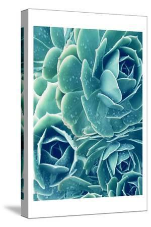Succulents With Dew 2-Urban Epiphany-Stretched Canvas Print
