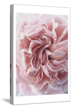 Rose-Urban Epiphany-Stretched Canvas Print