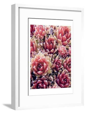 Red Succulents New Born 1-Urban Epiphany-Framed Art Print