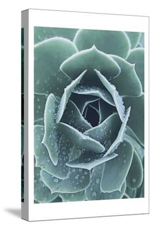 Succulent With Dew 1-Urban Epiphany-Stretched Canvas Print