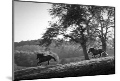 Horses running at sunset, Baden Wurttemberg, Germany-Panoramic Images-Mounted Photographic Print
