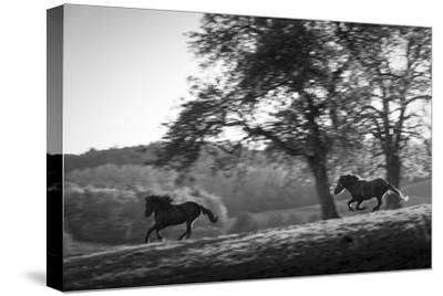 Horses running at sunset, Baden Wurttemberg, Germany-Panoramic Images-Stretched Canvas Print