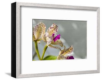 Close-up of Orchid flowers in bloom-Panoramic Images-Framed Photographic Print