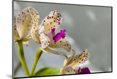 Close-up of Orchid flowers in bloom-Panoramic Images-Mounted Photographic Print