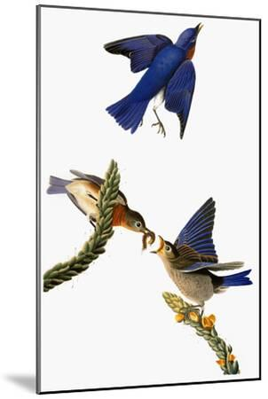 Audubon: Bluebird-John James Audubon-Mounted Giclee Print
