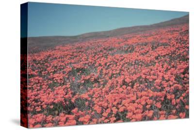 California Blooms III-Elizabeth Urquhart-Stretched Canvas Print