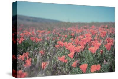 California Blooms I-Elizabeth Urquhart-Stretched Canvas Print