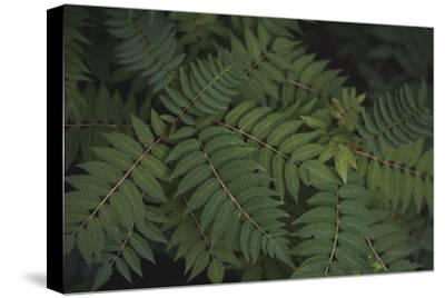 Leafy VI-Elizabeth Urquhart-Stretched Canvas Print