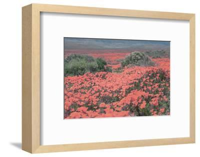 California Blooms II-Elizabeth Urquhart-Framed Photographic Print