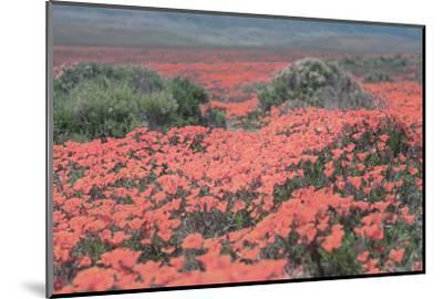 California Blooms II-Elizabeth Urquhart-Mounted Photographic Print