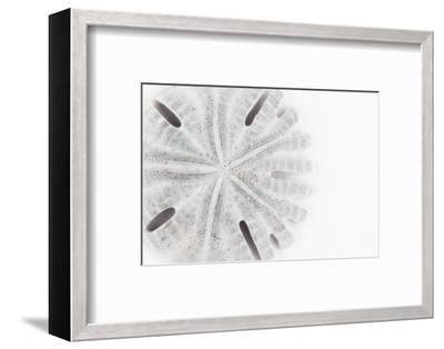 So Pure Collection - Florida Sand Dollar-Philippe Hugonnard-Framed Photographic Print