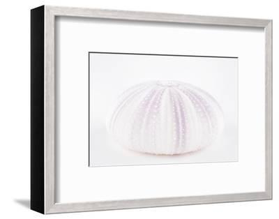 So Pure Collection - Natural Mauve Sea Urchin Shell-Philippe Hugonnard-Framed Photographic Print