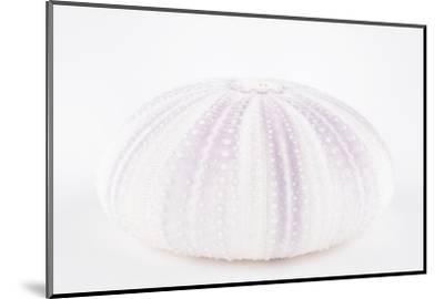 So Pure Collection - Natural Mauve Sea Urchin Shell-Philippe Hugonnard-Mounted Photographic Print
