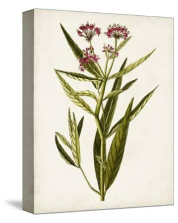 Antique Botanical Study VIII-0 Unknown-Stretched Canvas Print