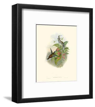 Hummingbird Delight IV-John Gould-Framed Art Print