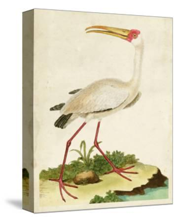 Heron Portrait VII-0 Unknown-Stretched Canvas Print