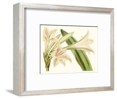 Antique Amaryllis VI-0 Curtis-Framed Art Print