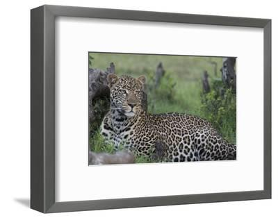 Africa, Kenya, Maasai Mara National Reserve. Resting leopard.-Jaynes Gallery-Framed Photographic Print