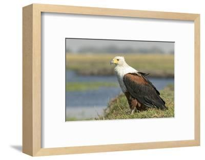 Africa, Botswana, Chobe National Park. Close-up of fish eagle on grass.-Jaynes Gallery-Framed Photographic Print