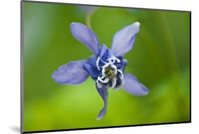 Canada, Manitoba, Winnipeg. Blue columbine flower close-up.-Jaynes Gallery-Mounted Photographic Print