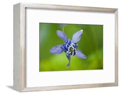 Canada, Manitoba, Winnipeg. Blue columbine flower close-up.-Jaynes Gallery-Framed Photographic Print