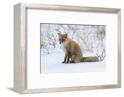 Red fox sitting in snow-Darrell Gulin-Framed Photographic Print
