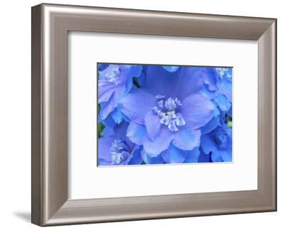 Light Blue and white delphinium larkspur.VanDusen Botanical Garden, Vancouver, British Columbia-William Perry-Framed Photographic Print