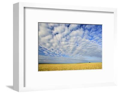 Canada, Manitoba, Holland. Wheat crop and clouds.-Jaynes Gallery-Framed Photographic Print