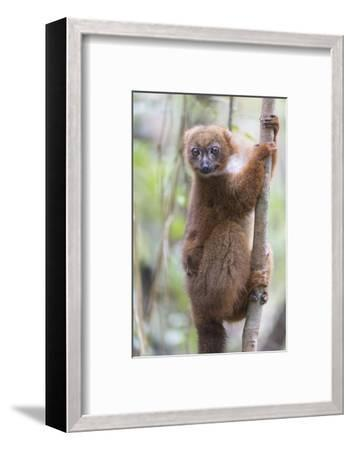 Madagascar, Akanin'ny Nofy Reserve. Female red-bellied lemur clinging to a tree with baby-Ellen Goff-Framed Photographic Print