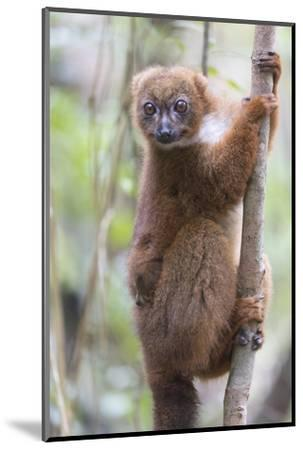 Madagascar, Akanin'ny Nofy Reserve. Female red-bellied lemur clinging to a tree with baby-Ellen Goff-Mounted Photographic Print