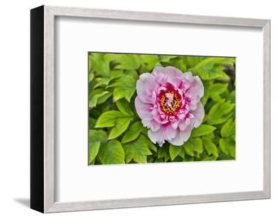 France, La Garrigue. Mas du Garrigue, pink flower-Hollice Looney-Framed Photographic Print
