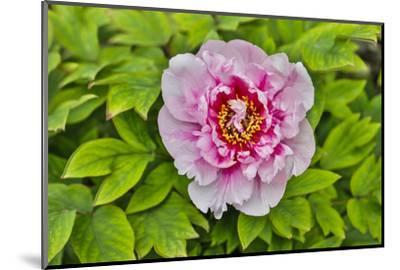 France, La Garrigue. Mas du Garrigue, pink flower-Hollice Looney-Mounted Photographic Print