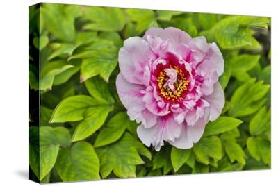 France, La Garrigue. Mas du Garrigue, pink flower-Hollice Looney-Stretched Canvas Print