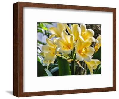 USA, Pennsylvania, Kennett Square. Clivia-Hollice Looney-Framed Photographic Print