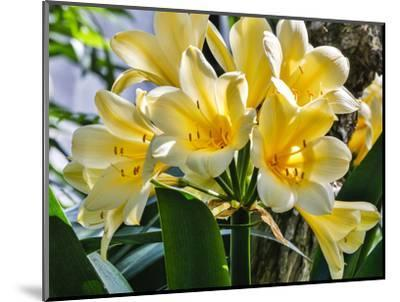USA, Pennsylvania, Kennett Square. Clivia-Hollice Looney-Mounted Photographic Print