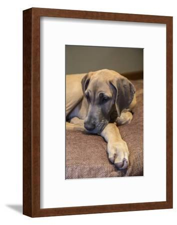 Great Dane puppy 'Evie' resting on her bed.-Janet Horton-Framed Photographic Print