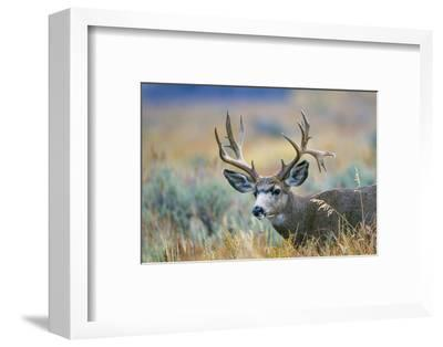 Wyoming, Grand Teton NP. A monster Mule Deer buck poses for a portrait shot of it's large antlers.-Elizabeth Boehm-Framed Photographic Print