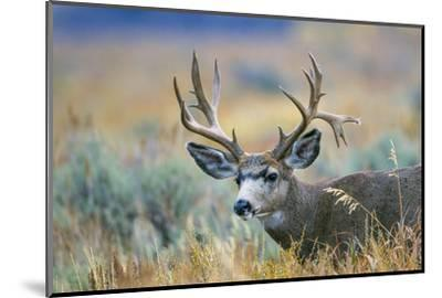 Wyoming, Grand Teton NP. A monster Mule Deer buck poses for a portrait shot of it's large antlers.-Elizabeth Boehm-Mounted Photographic Print