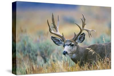 Wyoming, Grand Teton NP. A monster Mule Deer buck poses for a portrait shot of it's large antlers.-Elizabeth Boehm-Stretched Canvas Print