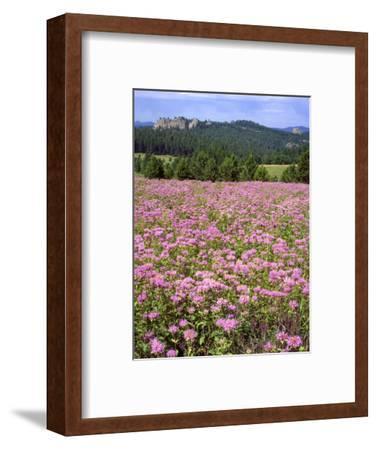 USA, South Dakota, Black Hills. Blooming horsemint flowers cover hillside.-Jaynes Gallery-Framed Photographic Print