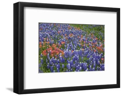 Texas Hill Country wildflowers, Texas. Bluebonnets and Indian Paintbrush-Gayle Harper-Framed Photographic Print
