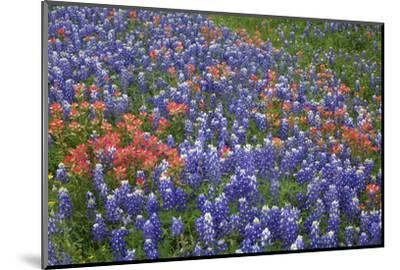 Texas Hill Country wildflowers, Texas. Bluebonnets and Indian Paintbrush-Gayle Harper-Mounted Photographic Print
